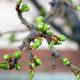 Tree branches with spring buds